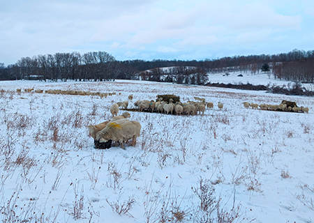 Winter Hay Feeding