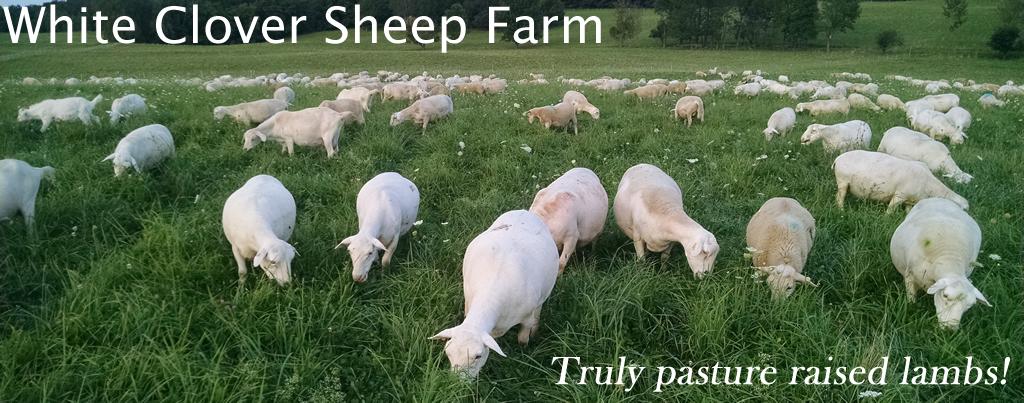 Truly pasture raised lambs  White Clover Sheep Farm