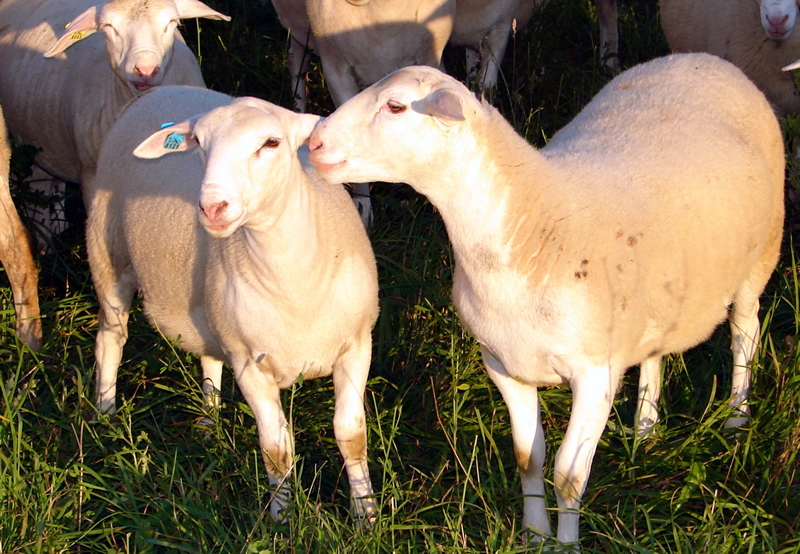 Truly pasture raised lambs  White Clover Sheep Farm